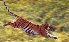 Ce Tigre Bondissant Fut Photographie Par Un Chasseur Illustre Mr Francois Edmond Blanc Depuis Le